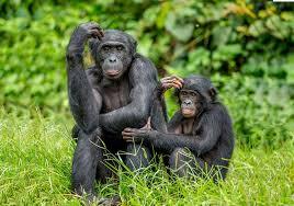 Bonobo's